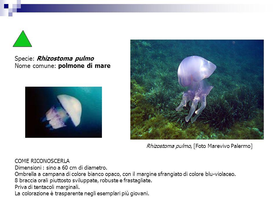 Specie: Rhizostoma pulmo Nome comune: polmone di mare