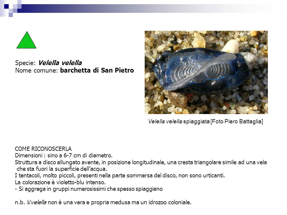 Specie: Velella velella Nome comune: barchetta di San Pietro