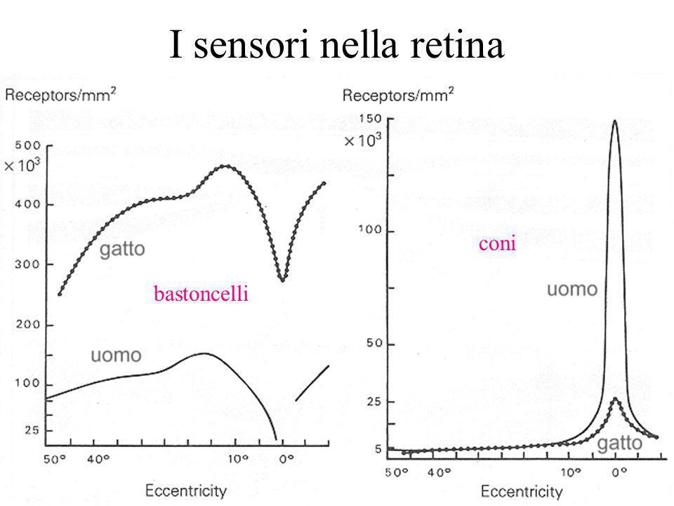 I sensori nella retina coni bastoncelli