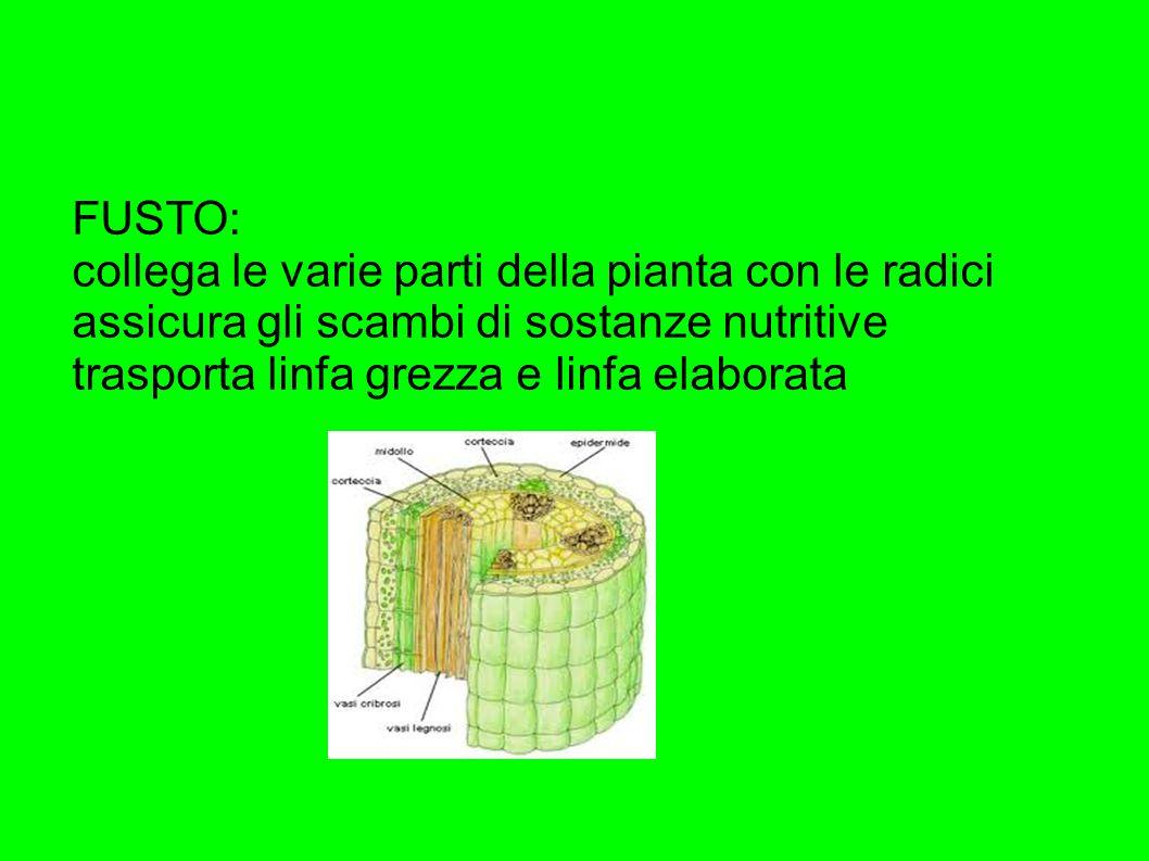 FUSTO: collega le varie parti della pianta con le radici. assicura gli scambi di sostanze nutritive.
