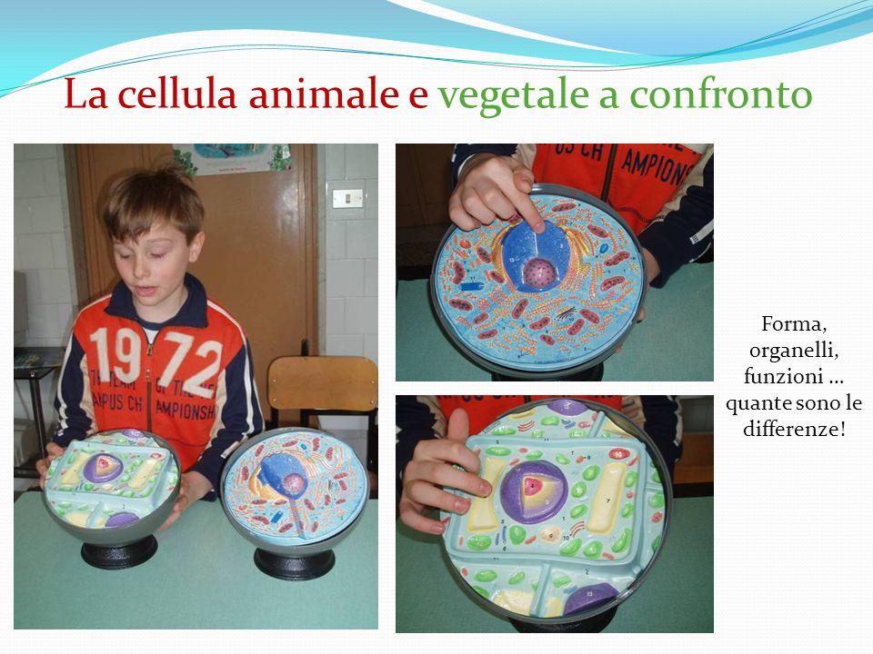 La cellula animale e vegetale a confronto