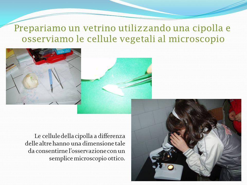 Prepariamo un vetrino utilizzando una cipolla e osserviamo le cellule vegetali al microscopio