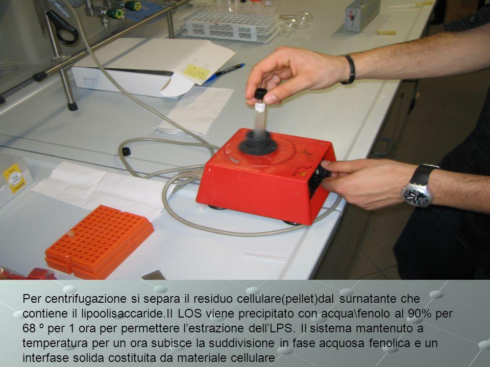 Per centrifugazione si separa il residuo cellulare(pellet)dal surnatante che contiene il lipoolisaccaride.Il LOS viene precipitato con acqua\fenolo al 90% per 68 º per 1 ora per permettere l'estrazione dell'LPS.