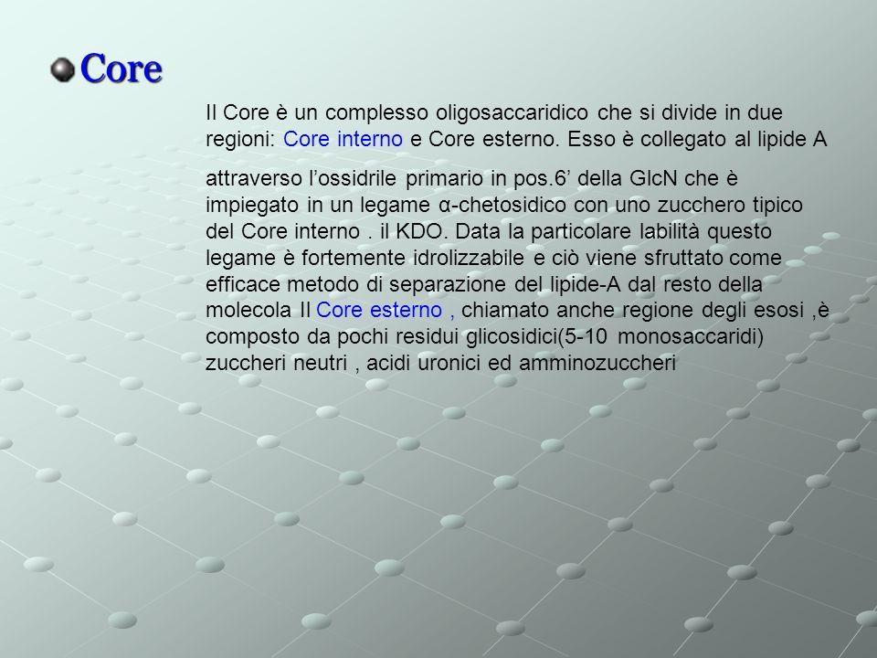 Core Il Core è un complesso oligosaccaridico che si divide in due regioni: Core interno e Core esterno. Esso è collegato al lipide A.