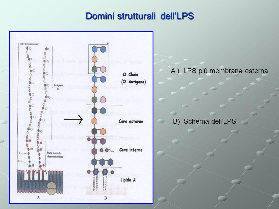 Domini strutturali dell'LPS