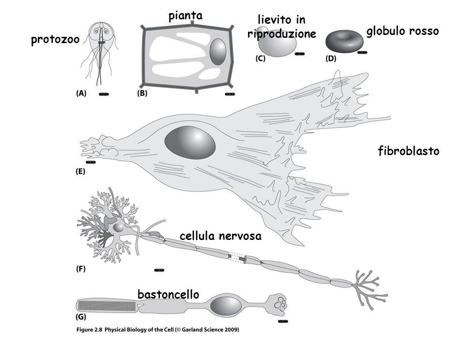 pianta lievito in riproduzione globulo rosso protozoo fibroblasto cellula nervosa bastoncello