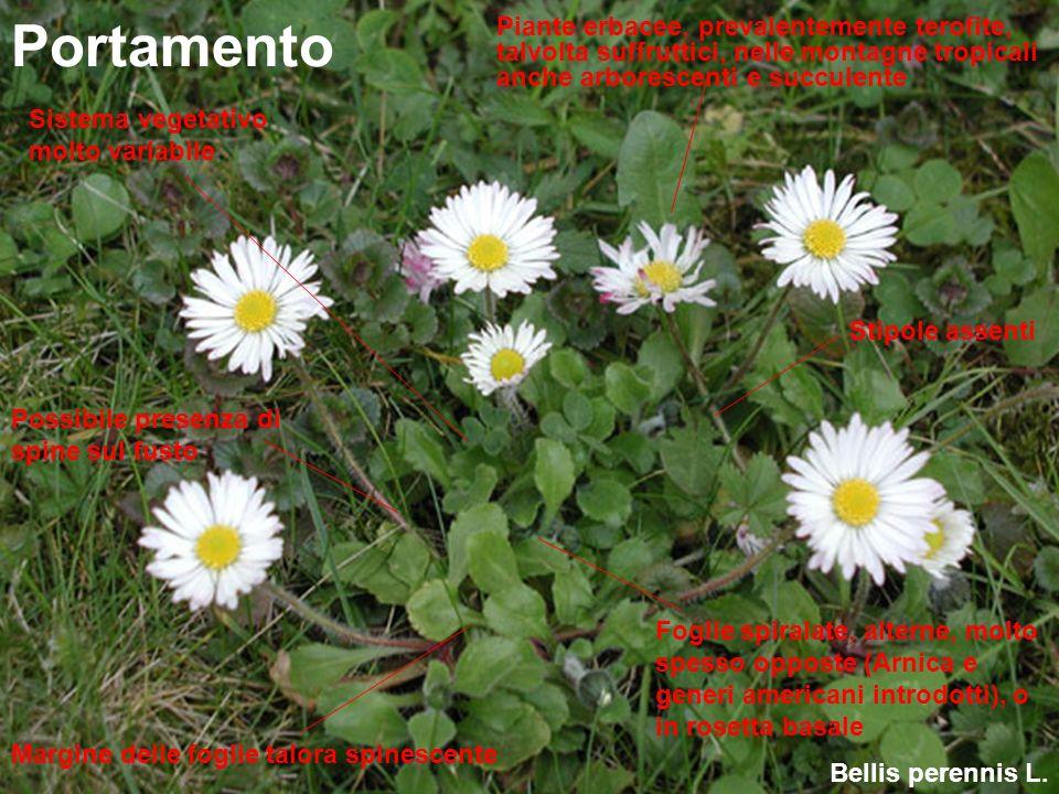 Portamento Piante erbacee, prevalentemente terofite, talvolta suffruttici, nelle montagne tropicali anche arborescenti e succulente.