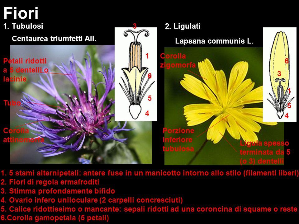 Fiori 1. Tubulosi 3 2. Ligulati Centaurea triumfetti All.