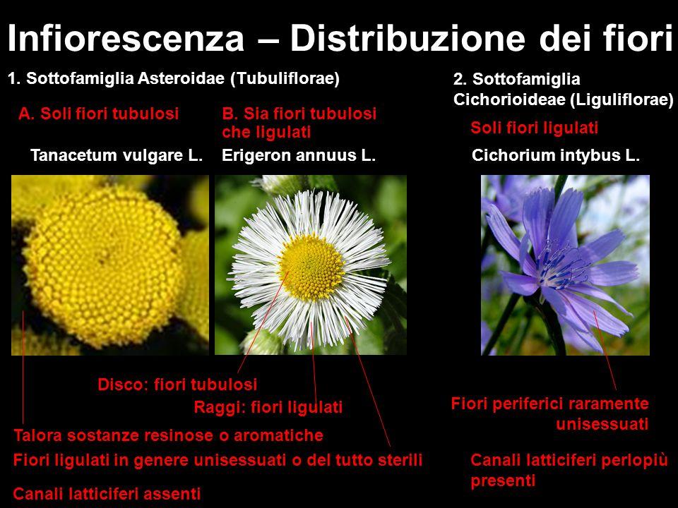 Infiorescenza – Distribuzione dei fiori