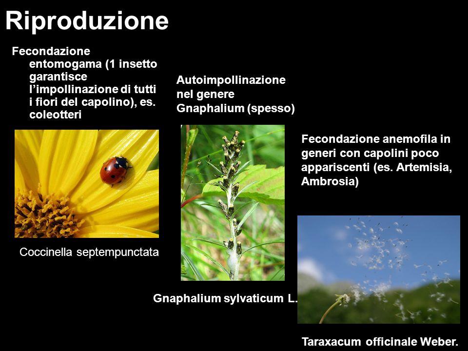 Riproduzione Fecondazione entomogama (1 insetto garantisce l'impollinazione di tutti i fiori del capolino), es. coleotteri.