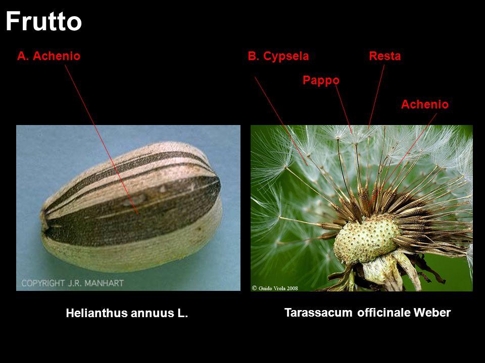 Frutto A. Achenio B. Cypsela Resta Pappo Achenio Helianthus annuus L.