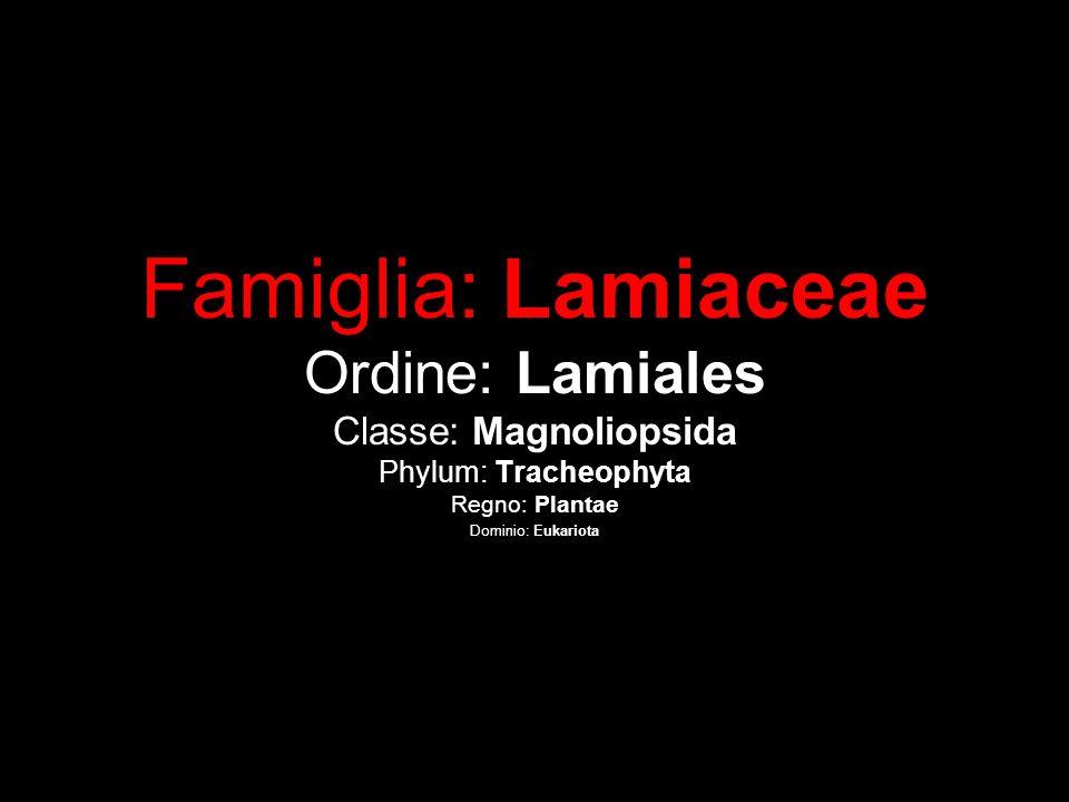 Famiglia: Lamiaceae Ordine: Lamiales Classe: Magnoliopsida Phylum: Tracheophyta Regno: Plantae Dominio: Eukariota