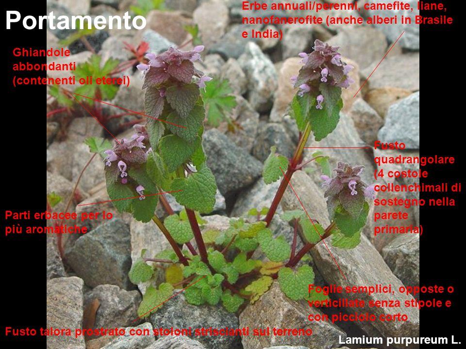 Erbe annuali/perenni, camefite, liane, nanofanerofite (anche alberi in Brasile e India)
