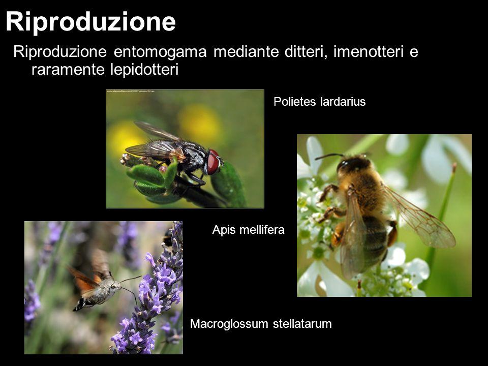 Riproduzione Riproduzione entomogama mediante ditteri, imenotteri e raramente lepidotteri. Polietes lardarius.