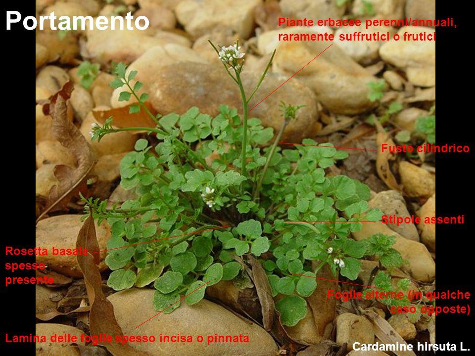 Portamento Piante erbacee perenni/annuali, raramente suffrutici o frutici. Fusto cilindrico. Stipole assenti.