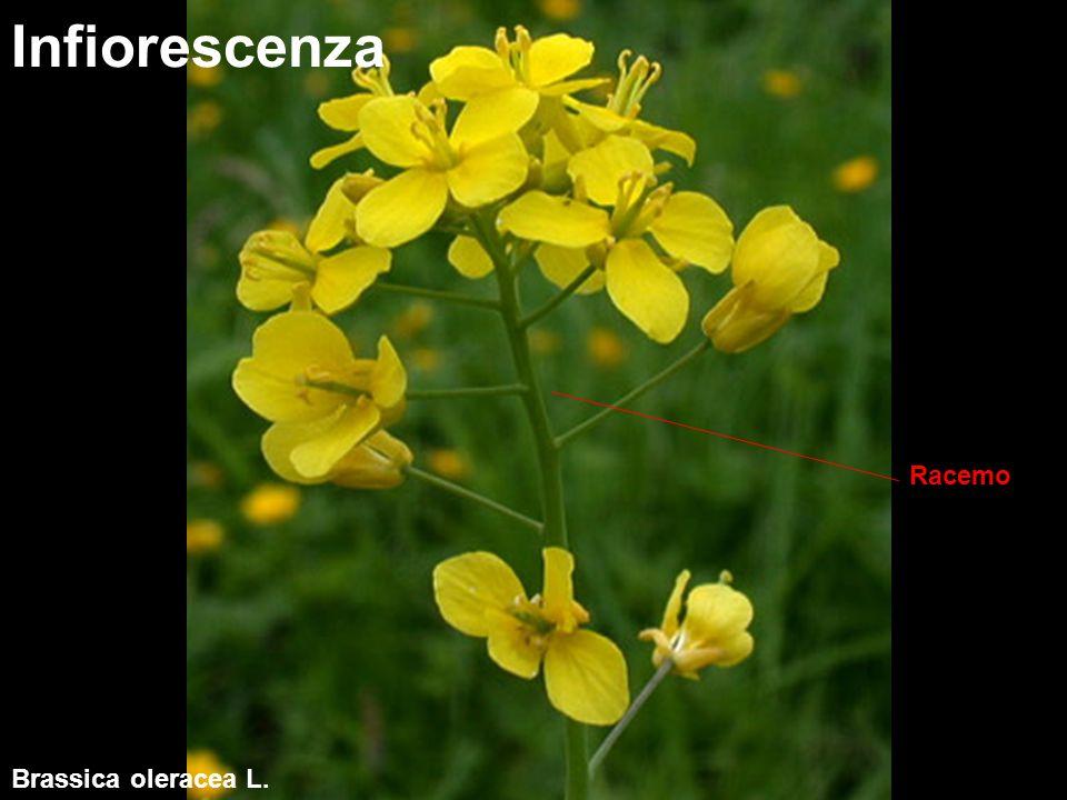 Infiorescenza Racemo Brassica oleracea L.