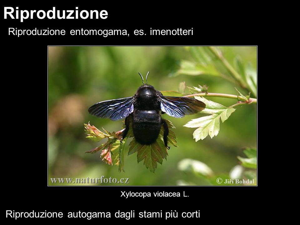 Riproduzione Riproduzione entomogama, es. imenotteri