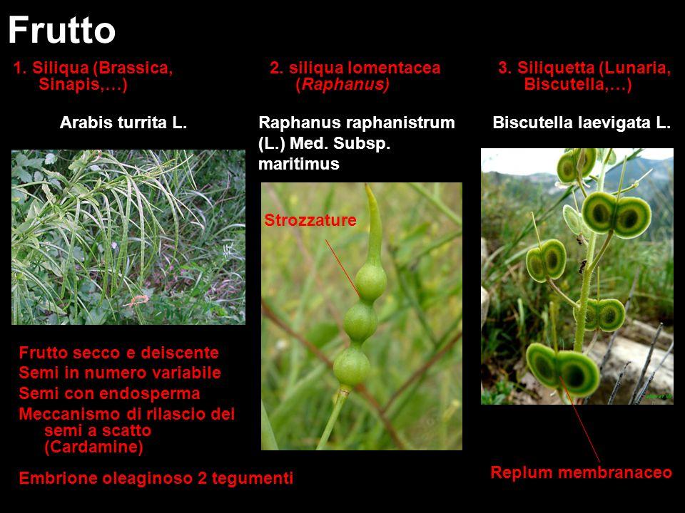 Frutto 1. Siliqua (Brassica, Sinapis,…)