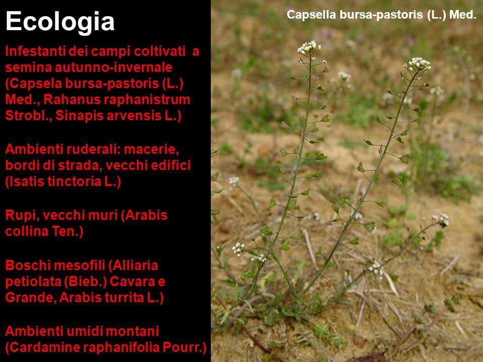 Ecologia Capsella bursa-pastoris (L.) Med.