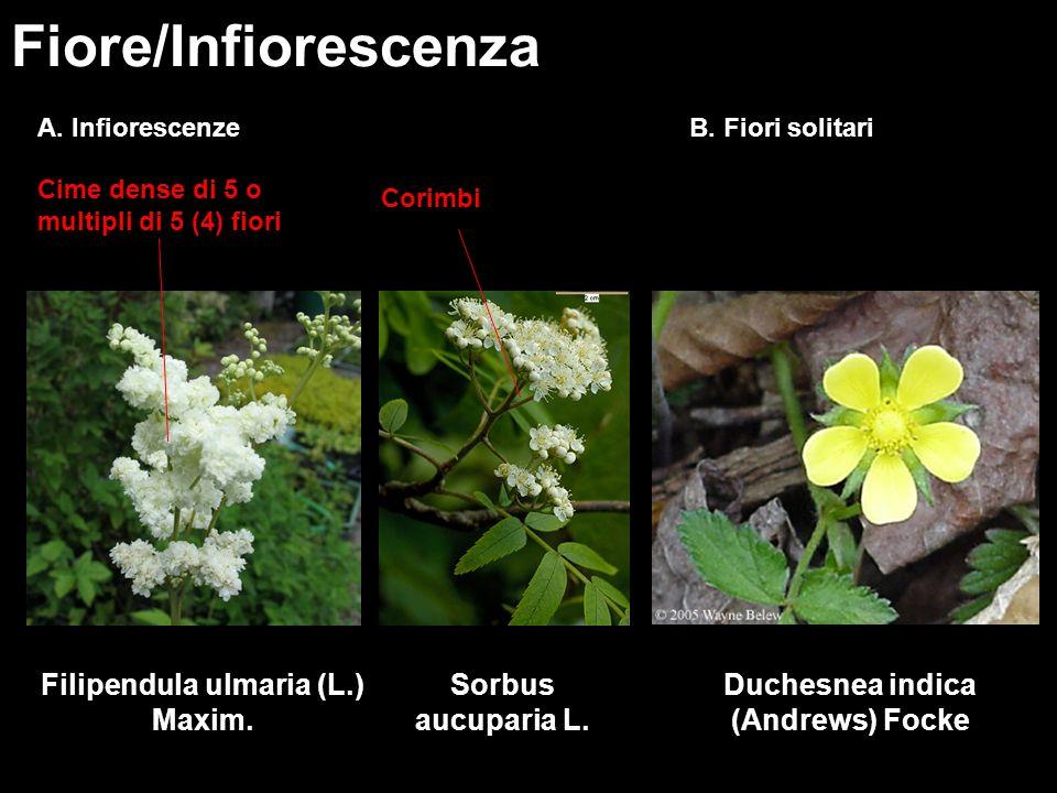Filipendula ulmaria (L.) Maxim. Duchesnea indica (Andrews) Focke