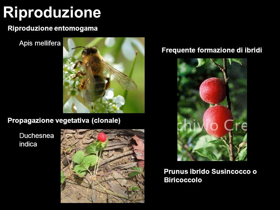 Riproduzione Riproduzione entomogama Apis mellifera