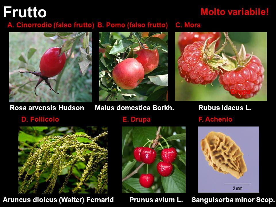 Frutto Molto variabile! A. Cinorrodio (falso frutto)