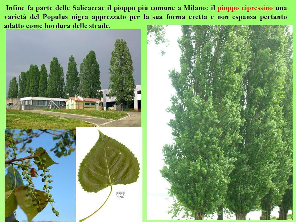 Infine fa parte delle Salicaceae il pioppo più comune a Milano: il pioppo cipressino una varietà del Populus nigra apprezzato per la sua forma eretta e non espansa pertanto adatto come bordura delle strade.