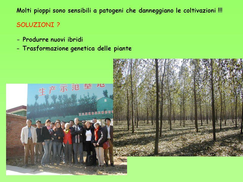 Molti pioppi sono sensibili a patogeni che danneggiano le coltivazioni !!!