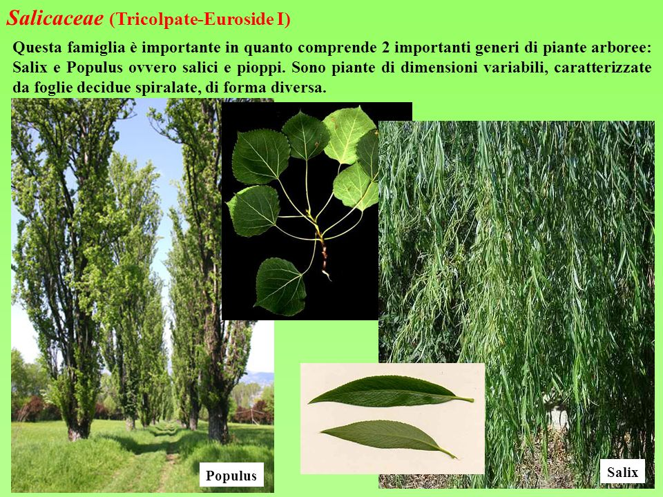 Salicaceae (Tricolpate-Euroside I)