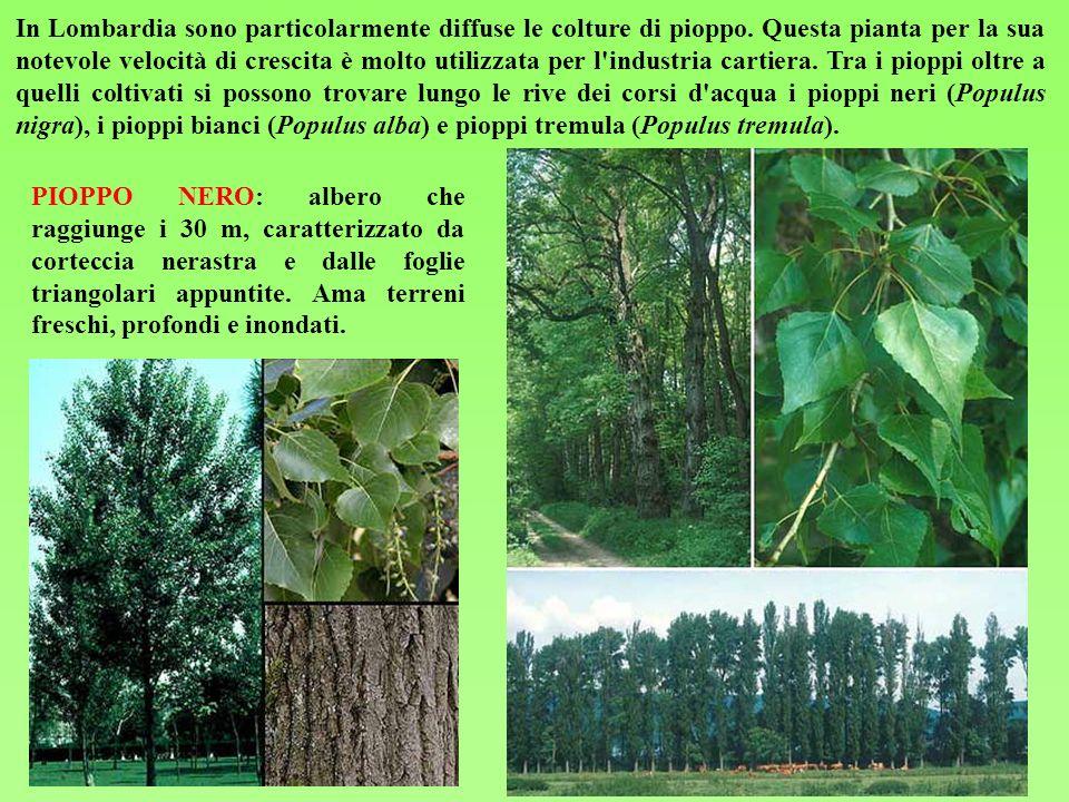 In Lombardia sono particolarmente diffuse le colture di pioppo