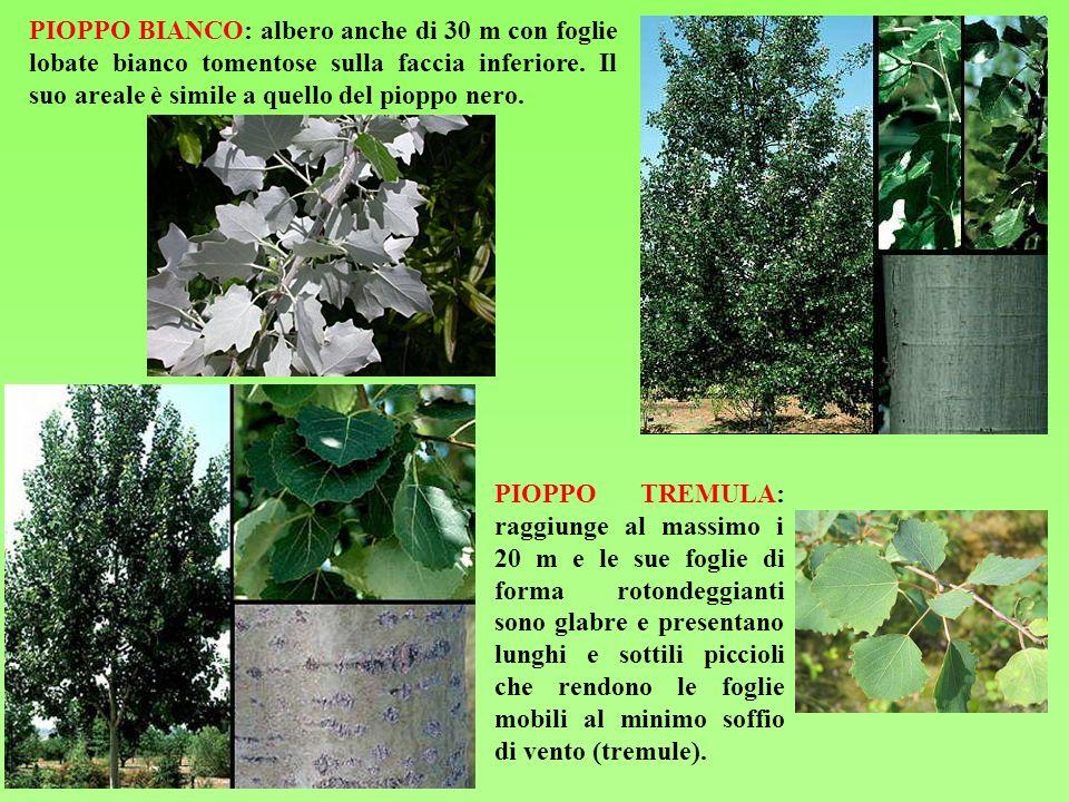 PIOPPO BIANCO: albero anche di 30 m con foglie lobate bianco tomentose sulla faccia inferiore. Il suo areale è simile a quello del pioppo nero.