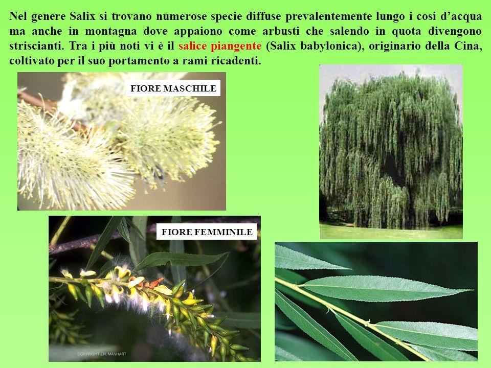 Nel genere Salix si trovano numerose specie diffuse prevalentemente lungo i cosi d'acqua ma anche in montagna dove appaiono come arbusti che salendo in quota divengono striscianti. Tra i più noti vi è il salice piangente (Salix babylonica), originario della Cina, coltivato per il suo portamento a rami ricadenti.