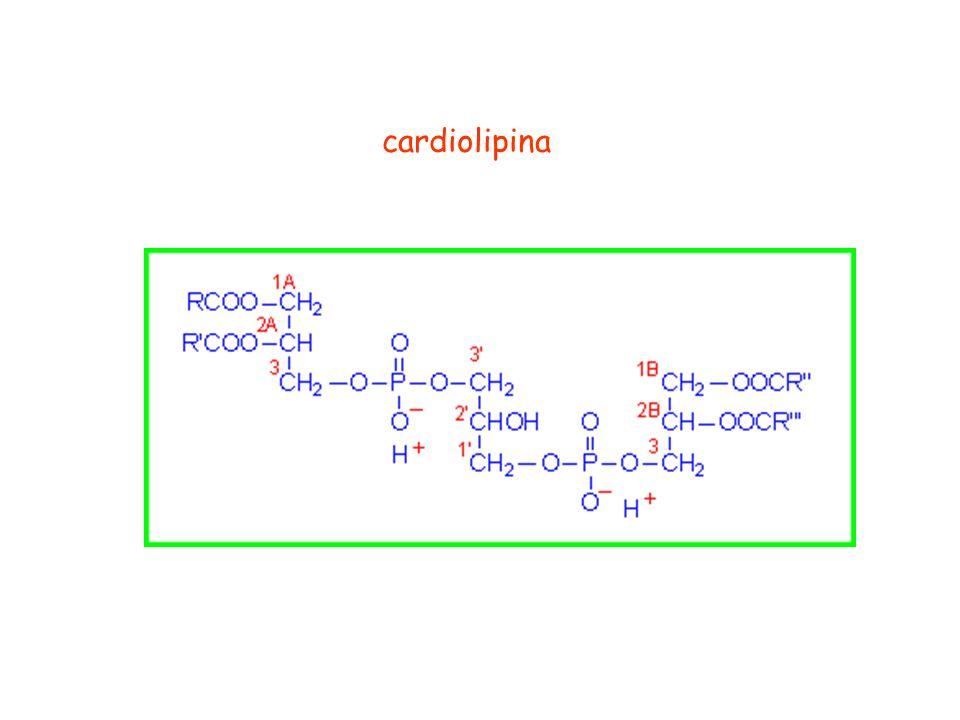 cardiolipina