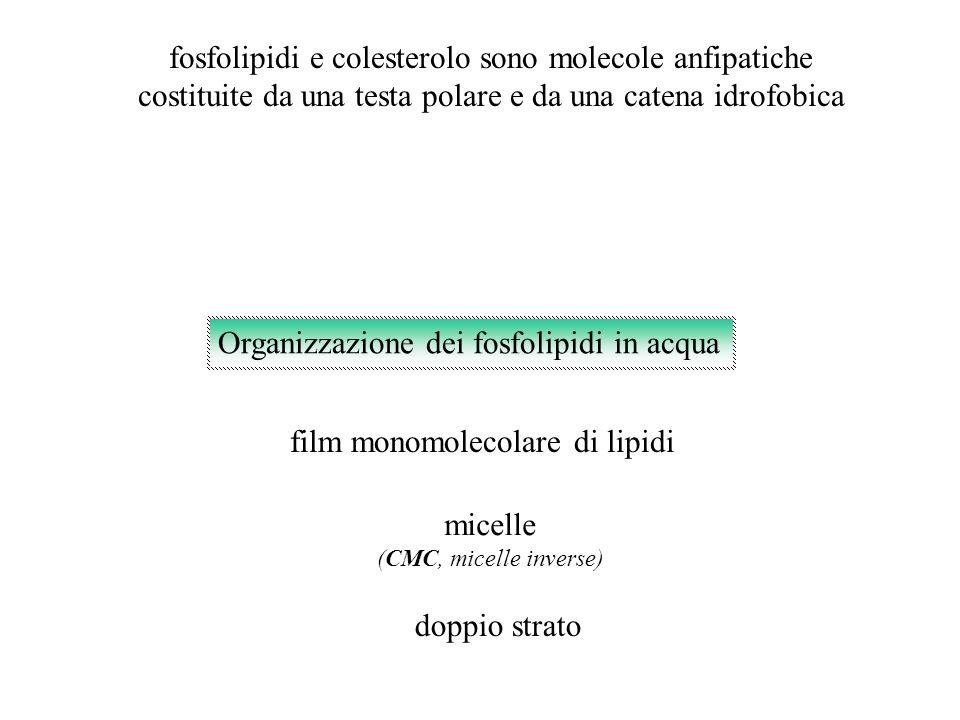 fosfolipidi e colesterolo sono molecole anfipatiche