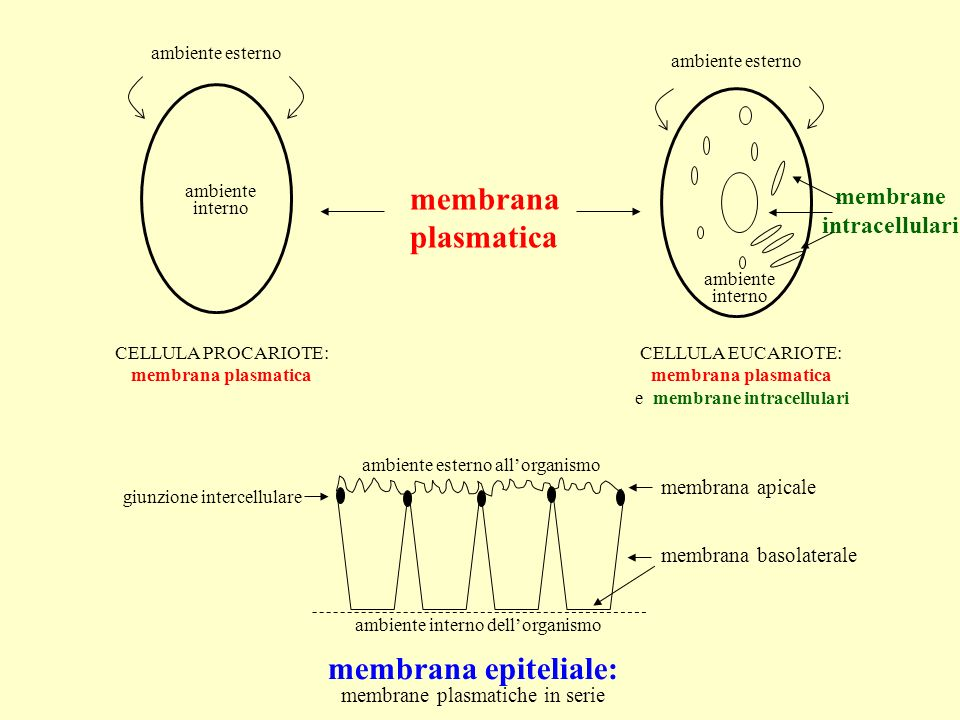 membrana plasmatica membrana epiteliale: membrane intracellulari