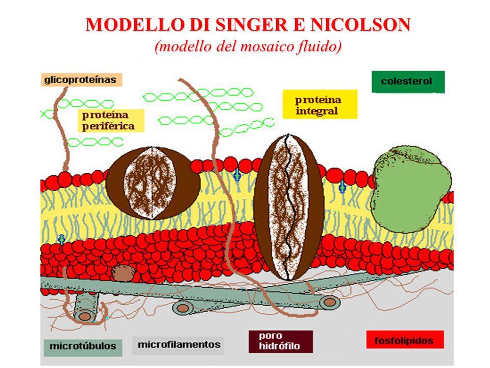 MODELLO DI SINGER E NICOLSON