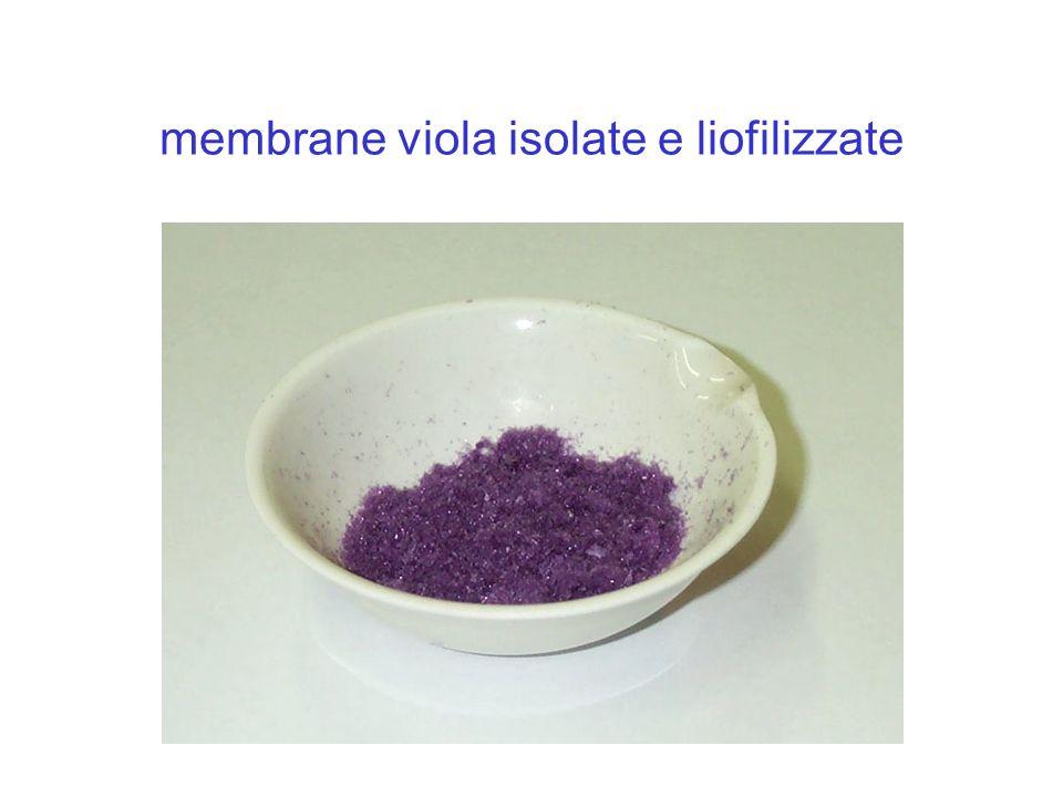 membrane viola isolate e liofilizzate