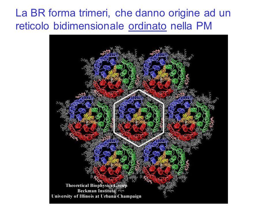 La BR forma trimeri, che danno origine ad un reticolo bidimensionale ordinato nella PM