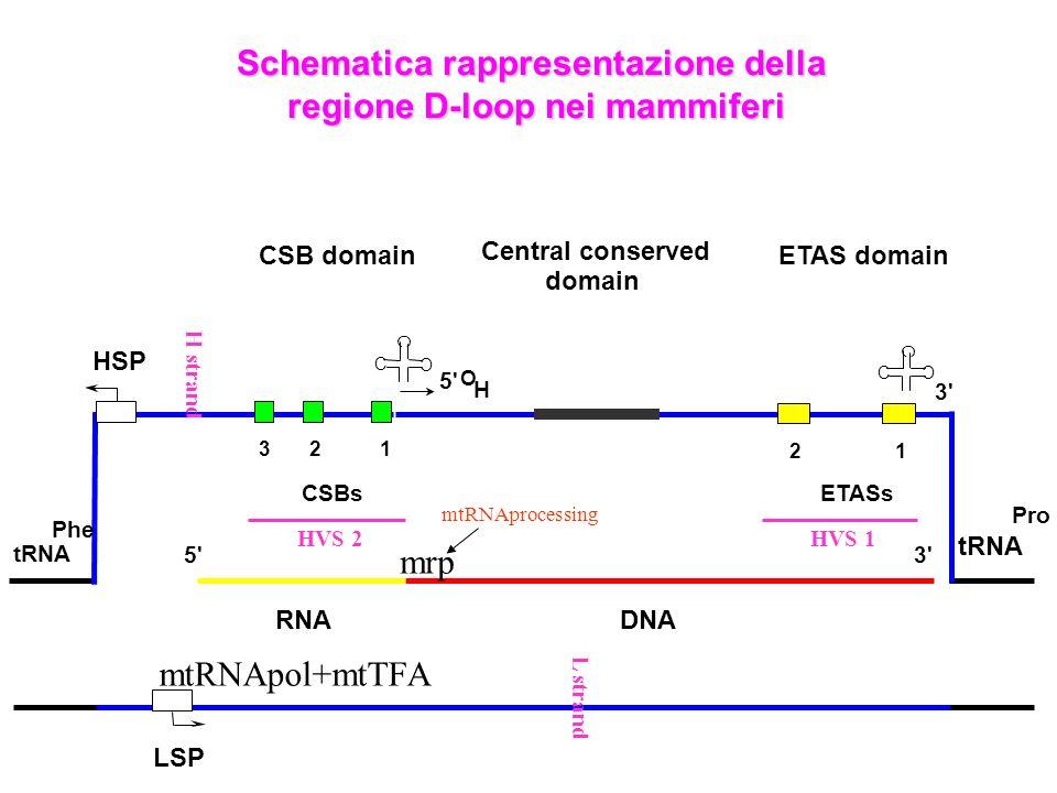 Schematica rappresentazione della regione D-loop nei mammiferi
