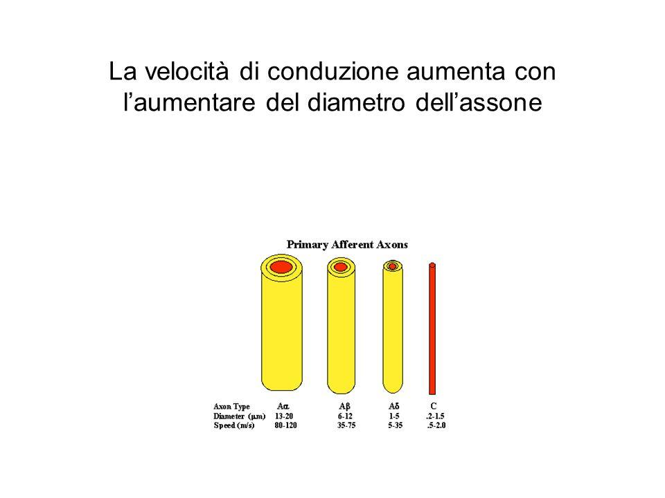 La velocità di conduzione aumenta con l'aumentare del diametro dell'assone