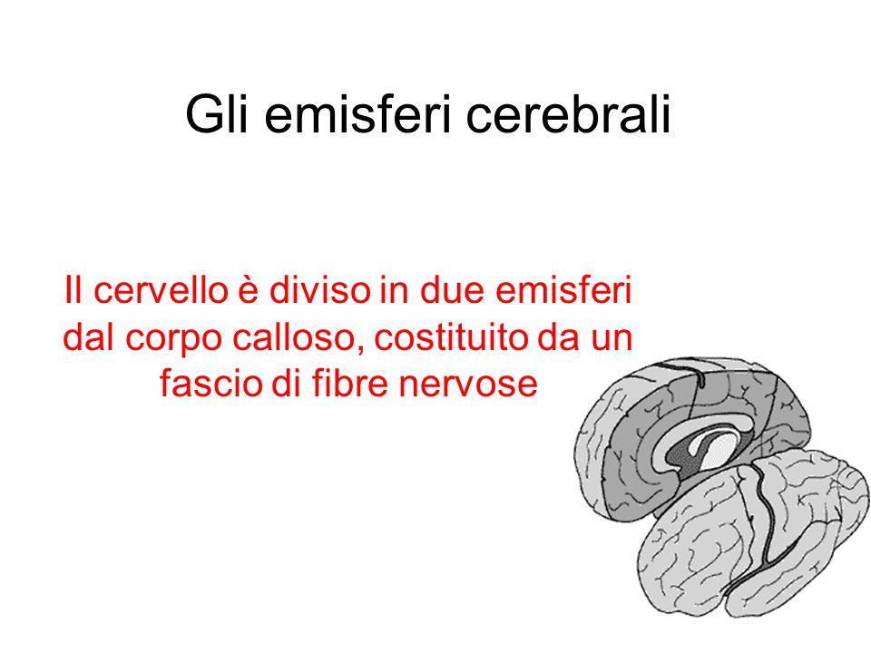 Gli emisferi cerebrali