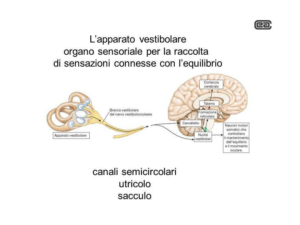 L'apparato vestibolare organo sensoriale per la raccolta