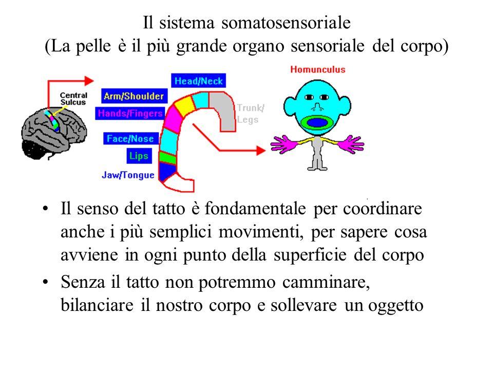 Il sistema somatosensoriale (La pelle è il più grande organo sensoriale del corpo)
