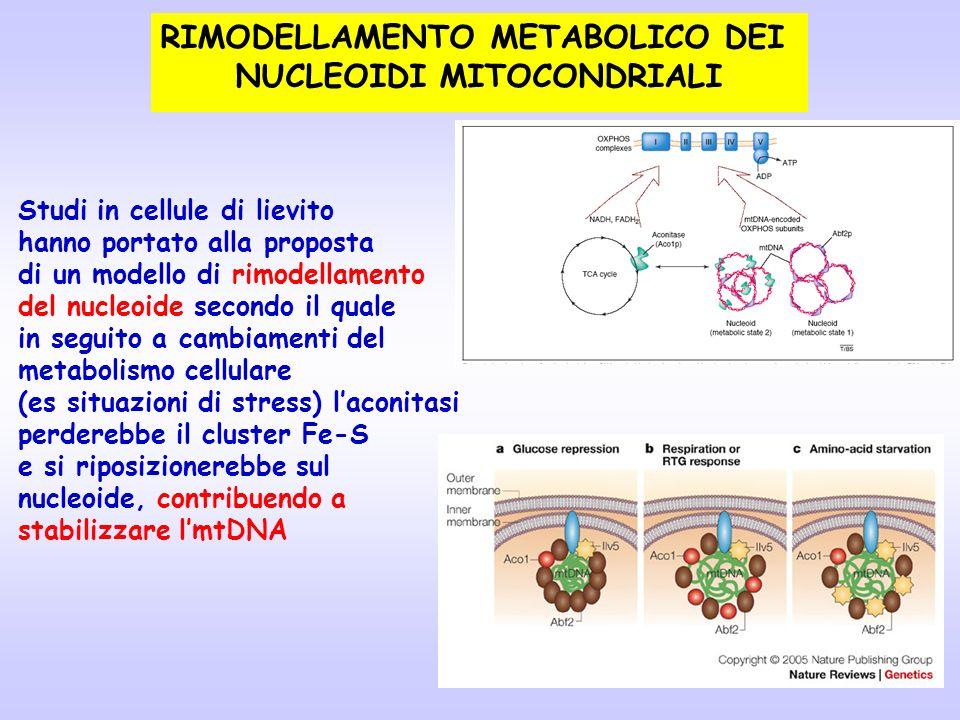 RIMODELLAMENTO METABOLICO DEI NUCLEOIDI MITOCONDRIALI