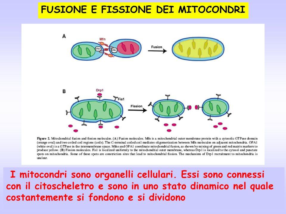 FUSIONE E FISSIONE DEI MITOCONDRI