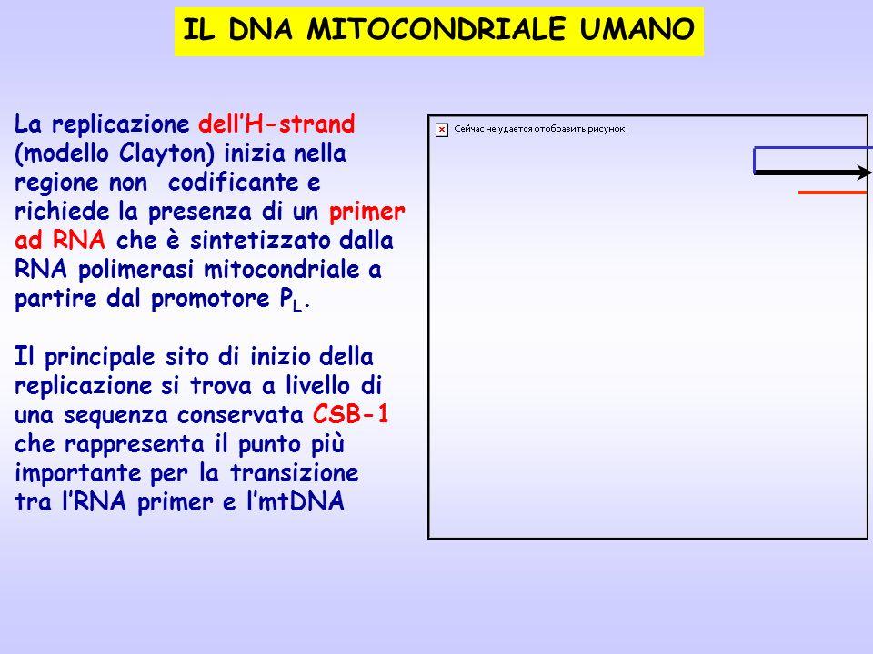 IL DNA MITOCONDRIALE UMANO