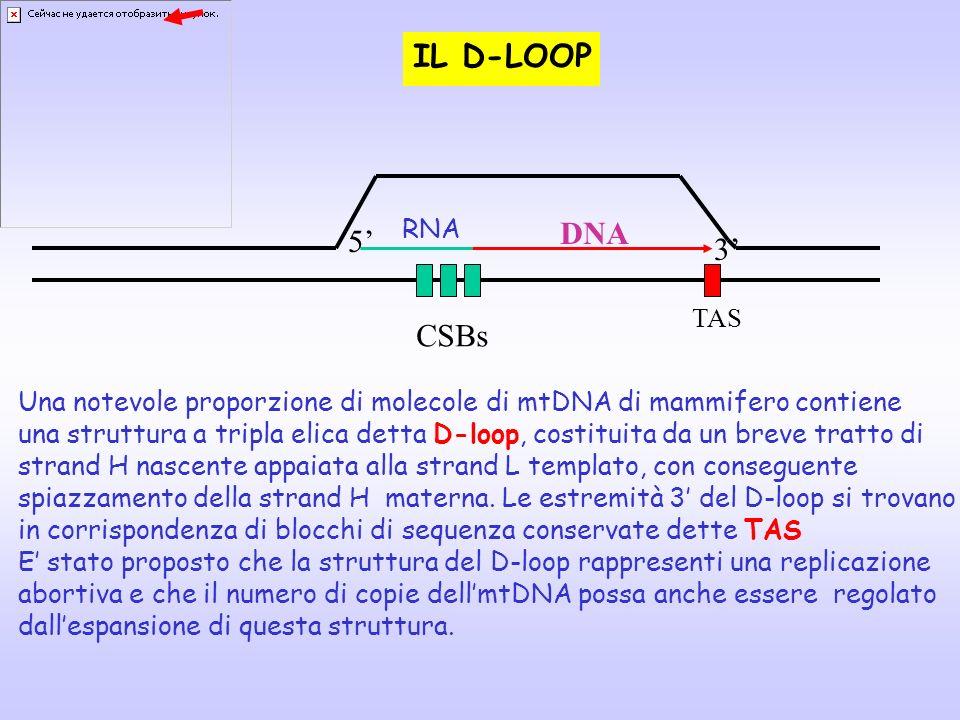 IL D-LOOP DNA 5' 3' CSBs RNA TAS