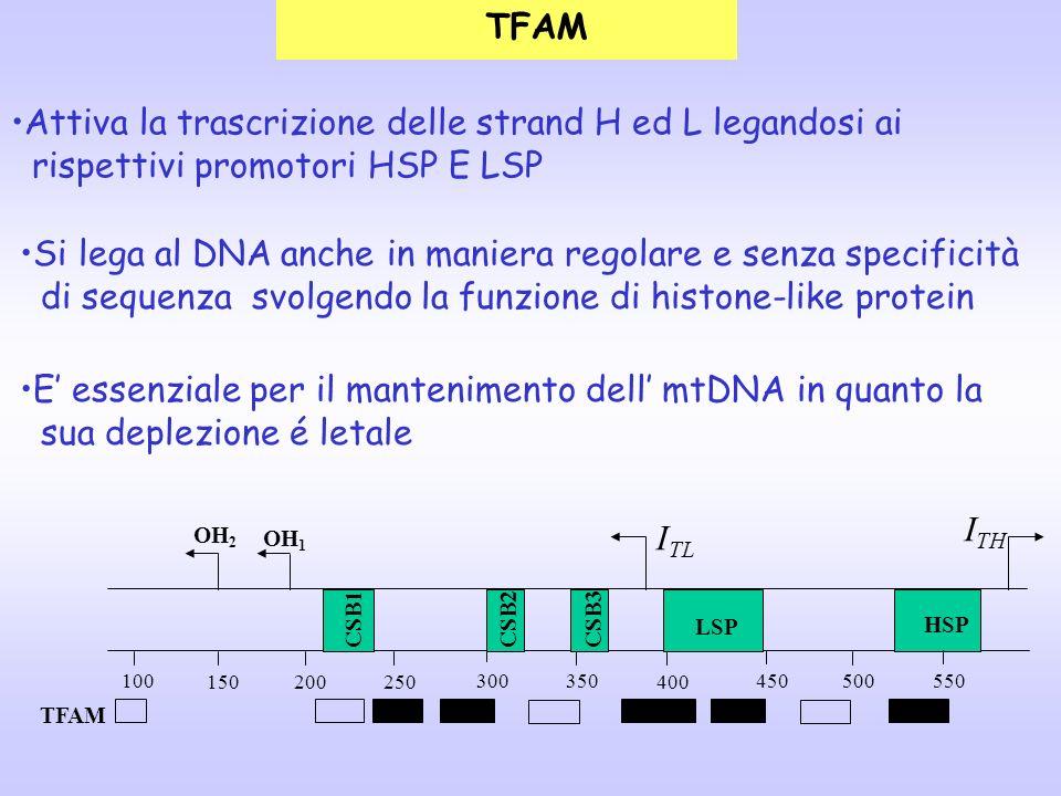 Attiva la trascrizione delle strand H ed L legandosi ai