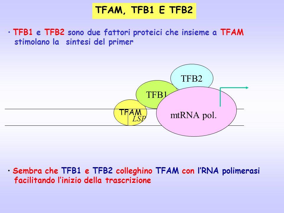 TFAM, TFB1 E TFB2 TFB2 TFB1 mtRNA pol. LSP