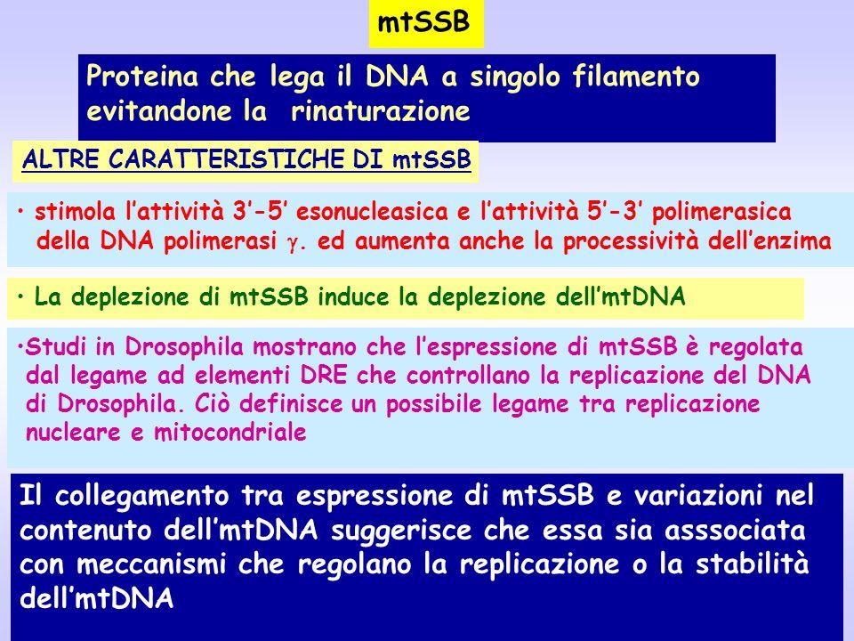 Il collegamento tra espressione di mtSSB e variazioni nel